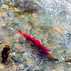 "A sockeye salmon returns from years in the ocean to its home in Alaska's Interior before spawning near the headwaters of the Gulkana River.  <div class=""ss-paypal-button"">Filename: AKA-15-4601-034.jpg</div><div class=""ss-paypal-button-end""></div>"