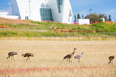 Sandhill cranes stop off in the field below the Butrovich Building on UAF's West Ridge on their way south for the winter.  Filename: AKA-12-3527-58.jpg