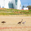 "Sandhill cranes stop off in the field below the Butrovich Building on UAF's West Ridge on their way south for the winter.  <div class=""ss-paypal-button"">Filename: AKA-12-3527-58.jpg</div><div class=""ss-paypal-button-end"" style=""""></div>"