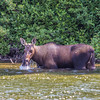 "A cow moose feeds on water plants from a lake near the town of Chitina which borders the Wrangell St. Elias National Park.  <div class=""ss-paypal-button"">Filename: AKA-13-3901-20.jpg</div><div class=""ss-paypal-button-end"" style=""""></div>"