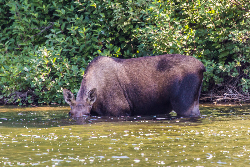 "A cow moose feeds on water plants from a lake near the town of Chitina which borders the Wrangell St. Elias National Park.  <div class=""ss-paypal-button"">Filename: AKA-13-3901-13.jpg</div><div class=""ss-paypal-button-end"" style=""""></div>"