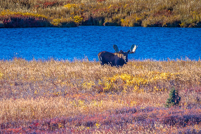 A bull moose forages near a pond amidst autumn splendor in Denali National Park and Preserve.  Filename: AKA-13-3942-366.jpg