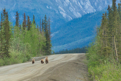 A family of grizzly bears trots up the Dalton Highway, about 300 miles north of Fairbanks.  Filename: AKA-14-4213-141.jpg