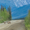 "A family of grizzly bears trots up the Dalton Highway, about 300 miles north of Fairbanks.  <div class=""ss-paypal-button"">Filename: AKA-14-4213-141.jpg</div><div class=""ss-paypal-button-end""></div>"