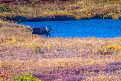 A bull moose forages near a pond amidst autumn splendor in Denali National Park and Preserve.  Filename: AKA-13-3942-355.jpg