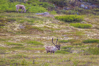 Caribou browse in high country along the Dalton Highway, about 125 miles north of Fairbanks.  Filename: AKA-14-4213-024.jpg
