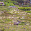 "Caribou browse in high country along the Dalton Highway, about 125 miles north of Fairbanks.  <div class=""ss-paypal-button"">Filename: AKA-14-4213-024.jpg</div><div class=""ss-paypal-button-end""></div>"