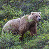 "A female grizzly bear seen from the road in Denali National Park and Preserve.  <div class=""ss-paypal-button"">Filename: AKA-13-3899-21.jpg</div><div class=""ss-paypal-button-end"" style=""""></div>"