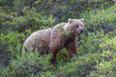 A female grizzly bear seen from the road in Denali National Park and Preserve.  Filename: AKA-13-3899-21.jpg