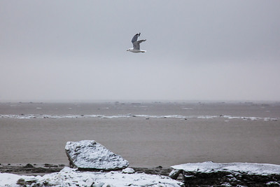 A gull flies over chunks of ice just off shore from Dillingham's waterfront during break-up in late April.  Filename: AKA-12-3406-046.jpg