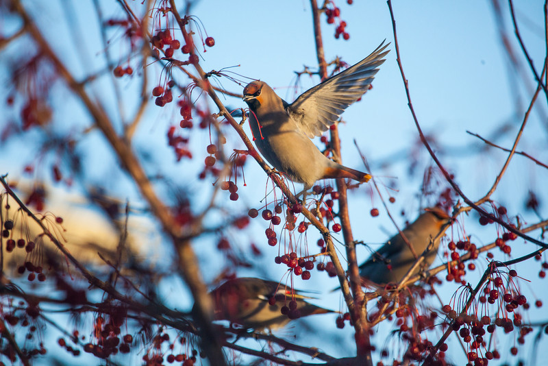 """Bohemian waxwings visit campus in mid-November 2012.  <div class=""""ss-paypal-button"""">Filename: AKA-12-3651-4.jpg</div><div class=""""ss-paypal-button-end"""" style=""""""""></div>"""