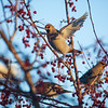"Bohemian waxwings visit campus in mid-November 2012.  <div class=""ss-paypal-button"">Filename: AKA-12-3651-4.jpg</div><div class=""ss-paypal-button-end"" style=""""></div>"