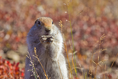 Arctic ground squirrels are one of the more common species of wildlife seen by visitors to Denali National Park and Preserve.  Filename: AKA-10-2879-164.jpg