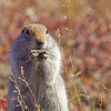 "Arctic ground squirrels are one of the more common species of wildlife seen by visitors to Denali National Park and Preserve.  <div class=""ss-paypal-button"">Filename: AKA-10-2879-164.jpg</div><div class=""ss-paypal-button-end"" style=""""></div>"