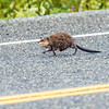 "A wet muskrat crosses a rural highway in Alaska's Copper River Valley.  <div class=""ss-paypal-button"">Filename: AKA-15-4601-102.jpg</div><div class=""ss-paypal-button-end""></div>"