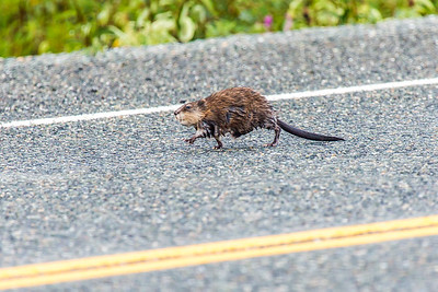A wet muskrat crosses a rural highway in Alaska's Copper River Valley.  Filename: AKA-15-4601-102.jpg
