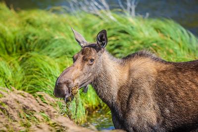 A young cow moose feeds from a lake near Chitina, Alaska.  Filename: AKA-14-4260-53.jpg
