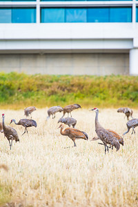 Sandhill cranes stop off in the field below the Butrovich Building on UAF's West Ridge on their way south for the winter.  Filename: AKA-12-3527-19.jpg