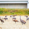 "Sandhill cranes stop off in the field below the Butrovich Building on UAF's West Ridge on their way south for the winter.  <div class=""ss-paypal-button"">Filename: AKA-12-3527-19.jpg</div><div class=""ss-paypal-button-end"" style=""""></div>"