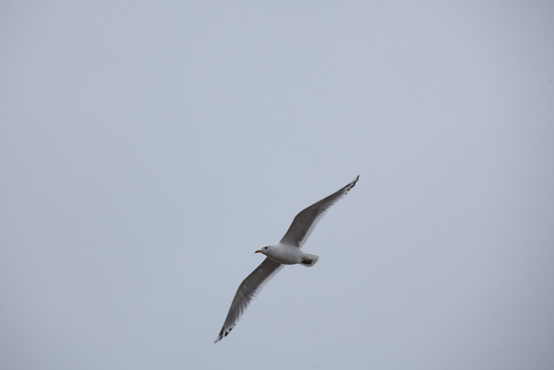"A gull soars overhead in Dillingham.  <div class=""ss-paypal-button"">Filename: AKA-12-3406-087.jpg</div><div class=""ss-paypal-button-end"" style=""""></div>"