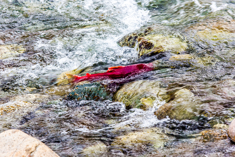 "A sockeye salmon returns from years in the ocean to its home in Alaska's Interior before spawning near the headwaters of the Gulkana River.  <div class=""ss-paypal-button"">Filename: AKA-15-4601-049.jpg</div><div class=""ss-paypal-button-end""></div>"