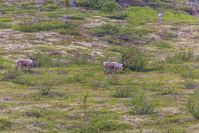 Caribou browse in high country along the Dalton Highway, about 125 miles north of Fairbanks.  Filename: AKA-14-4213-013.jpg