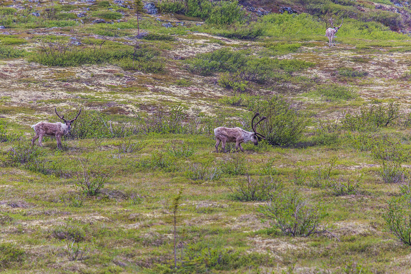 "Caribou browse in high country along the Dalton Highway, about 125 miles north of Fairbanks.  <div class=""ss-paypal-button"">Filename: AKA-14-4213-013.jpg</div><div class=""ss-paypal-button-end""></div>"