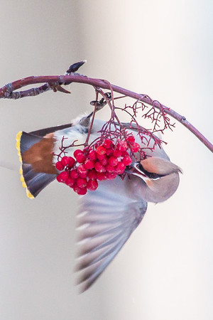 Bohemian waxwings feed on berries from a tree on the Fairbanks campus on a November afternoon.  Filename: AKA-12-3650-74.jpg