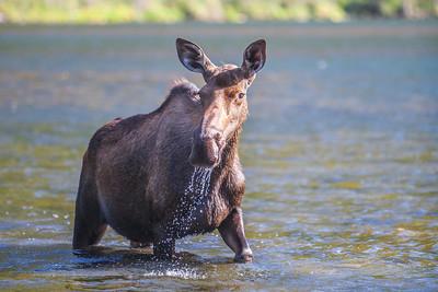 A young cow moose feeds from a lake near Chitina, Alaska.  Filename: AKA-14-4260-31.jpg