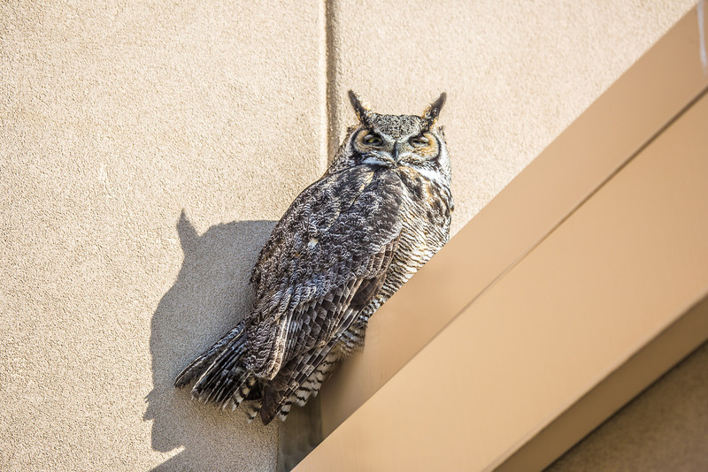 "A great horned owl takes a morning break on the awning above the front doors of the Chapman Building on the Fairbanks campus.  <div class=""ss-paypal-button"">Filename: AKA-13-3792-68.jpg</div><div class=""ss-paypal-button-end"" style=""""></div>"