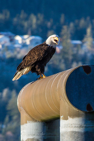 A bald eagle announces its presence from its perch near downtown Juneau.  Filename: AKA-14-4059-94.jpg