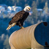 "A bald eagle announces its presence from its perch near downtown Juneau.  <div class=""ss-paypal-button"">Filename: AKA-14-4059-94.jpg</div><div class=""ss-paypal-button-end"" style=""""></div>"