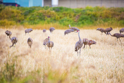 Sandhill cranes stop off in the field below the Butrovich Building on UAF's West Ridge on their way south for the winter.  Filename: AKA-12-3527-14.jpg