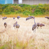 "Sandhill cranes stop off in the field below the Butrovich Building on UAF's West Ridge on their way south for the winter.  <div class=""ss-paypal-button"">Filename: AKA-12-3527-14.jpg</div><div class=""ss-paypal-button-end"" style=""""></div>"