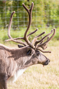 One of the reindeer at the UAF Agricultural and Forestry Experiment Station runs inside a holding pen.  Filename: AKA-12-3526-5.jpg