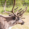 """One of the reindeer at the UAF Agricultural and Forestry Experiment Station runs inside a holding pen.  <div class=""""ss-paypal-button"""">Filename: AKA-12-3526-5.jpg</div><div class=""""ss-paypal-button-end"""" style=""""""""></div>"""