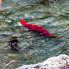 "A sockeye salmon returns from years in the ocean to its home in Alaska's Interior before spawning near the headwaters of the Gulkana River.  <div class=""ss-paypal-button"">Filename: AKA-15-4601-010.jpg</div><div class=""ss-paypal-button-end""></div>"