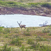 "Caribou browse in high country along the Dalton Highway, about 125 miles north of Fairbanks.  <div class=""ss-paypal-button"">Filename: AKA-14-4213-020.jpg</div><div class=""ss-paypal-button-end""></div>"