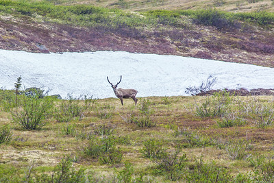 Caribou browse in high country along the Dalton Highway, about 125 miles north of Fairbanks.  Filename: AKA-14-4213-020.jpg