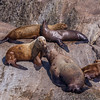 "Sea lions bask in the sun on rocks in Resurrection Bay near Seward.  <div class=""ss-paypal-button"">Filename: AKA-13-3901-65.jpg</div><div class=""ss-paypal-button-end"" style=""""></div>"