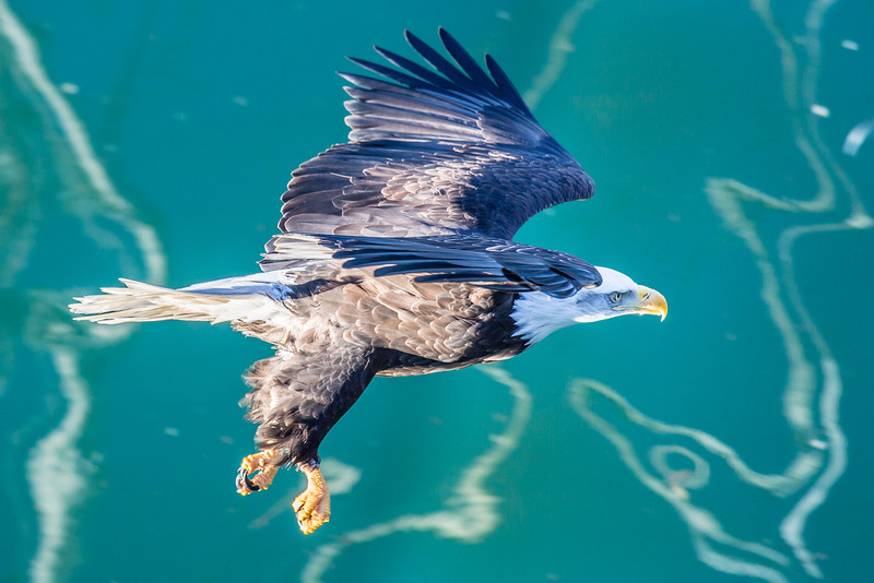 "A bald eagle cruises over the waterfront near downtown Juneau.  <div class=""ss-paypal-button"">Filename: AKA-14-4059-98.jpg</div><div class=""ss-paypal-button-end"" style=""""></div>"