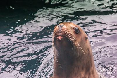 A female sea lion inspects visitors to its home at the Alaska Sea Life Center in Seward.  Filename: AKA-15-4475-234.jpg