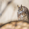 """A great horned owl takes a morning break on the awning above the front doors of the Chapman Building on the Fairbanks campus.  <div class=""""ss-paypal-button"""">Filename: AKA-13-3792-62.jpg</div><div class=""""ss-paypal-button-end"""" style=""""""""></div>"""