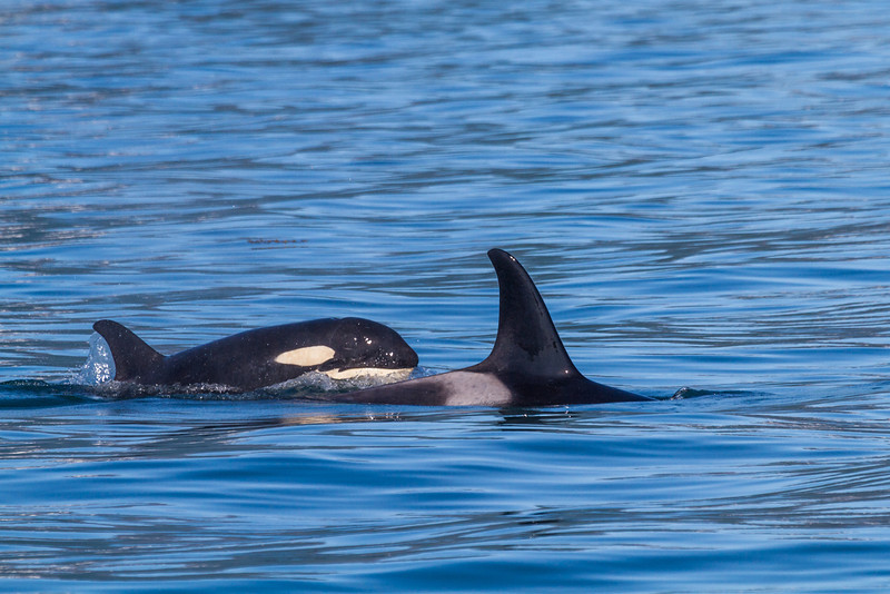 "A family of orca whales surfaces in Resurrection Bay near Seward.  <div class=""ss-paypal-button"">Filename: AKA-13-3901-64.jpg</div><div class=""ss-paypal-button-end"" style=""""></div>"