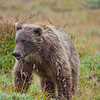 "Photos were taken during three days in August, 2010 within Denali National Park and Preserve.  <div class=""ss-paypal-button"">Filename: AKA-10-2849-020.jpg</div><div class=""ss-paypal-button-end"" style=""""></div>"