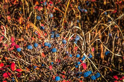 Blueberries fourish in mid-September in Denali National Park and Preserve.  Filename: AKA-13-3942-277.jpg