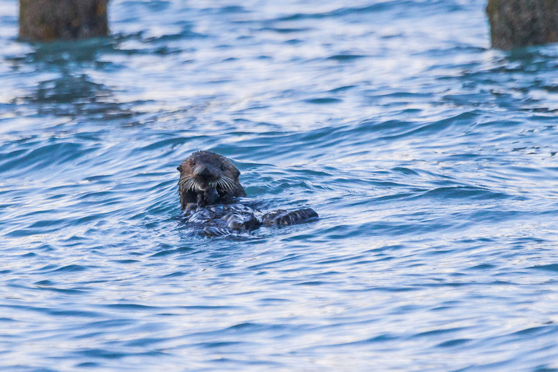 "A sea otter feeds of shellfish near the boat harbor in Seward, Alaska.  <div class=""ss-paypal-button"">Filename: AKA-13-3901-61.jpg</div><div class=""ss-paypal-button-end"" style=""""></div>"
