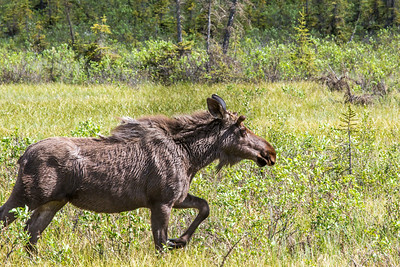 A young bull moose trots through a meadow along the Dalton Highway, about 250 miles north of Fairbanks.  Filename: AKA-14-4213-201.jpg