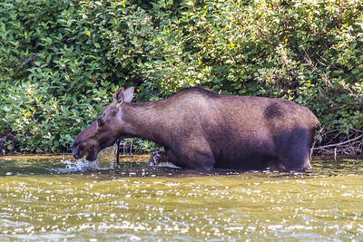 A cow moose cools off in a lake near the town of Chitina which borders the Wrangell St. Elias National Park.  Filename: AKA-13-3901-7.jpg