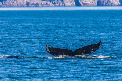 A humpback whale displays its distinctive tail as it dives in Resurrection Bay near Seward.  Filename: AKA-13-3901-70.jpg